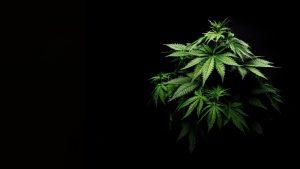 cannabis seo company